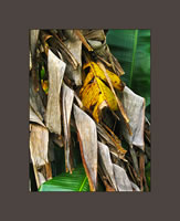 Dying Banana Leaf